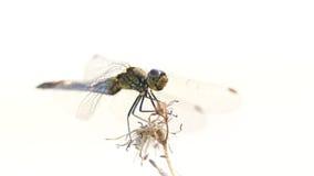 Libélula en hierba seca en un día de verano caliente Fotos de archivo libres de regalías