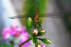 Libélula en la flor Fotos de archivo libres de regalías