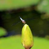 Libélula en la flor de loto hermosa Fotografía de archivo libre de regalías