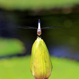 Libélula en la flor de loto hermosa Imágenes de archivo libres de regalías