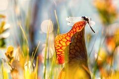 Libélula en la flor en el pantano Mauricie Quebec fotografía de archivo