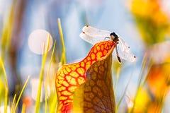 Libélula en la flor en el pantano Mauricie Quebec imagen de archivo