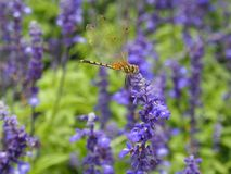 Libélula en la flor púrpura Fotografía de archivo