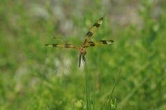 Libélula en la hierba Fotografía de archivo