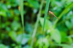 Libélula en la hierba en el jardín de la mañana Foto de archivo libre de regalías