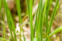 Libélula en Reed Leaf Imagen de archivo libre de regalías