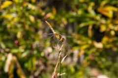 Libélula en un fondo de la hierba verde que se sienta en una rama Fotografía de archivo