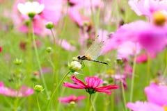 Libélula en una flor del cosmos Foto de archivo libre de regalías