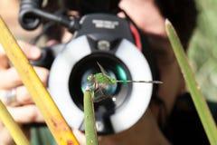 Libélula fotografiado por un flash macro de la lente y del anillo Imágenes de archivo libres de regalías