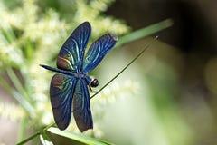 Libélula, libélulas del plutonia de Tailandia Rhyothemis Imágenes de archivo libres de regalías