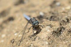 A libélula mediterrânea empoleirou-se e descansar dentro de um jardim em Chipre pode dentro imagens de stock royalty free