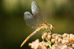 Libélula meridional del Darter (hembra) - Fotos de archivo