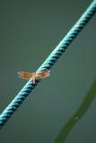 Libélula na corda Foto de Stock Royalty Free