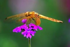 Libélula na flor Fotos de Stock Royalty Free