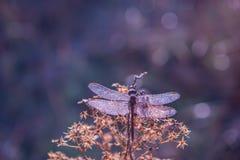 Libélula nas gotas do orvalho efervescente em uma flor Imagem de Stock Royalty Free