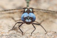 libélula negra con los ojos azules Fotografía de archivo libre de regalías