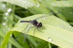 Libélula negra que se sienta en la hierba Fotos de archivo