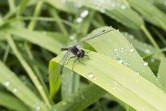 Libélula negra que se sienta en la hierba Fotos de archivo libres de regalías