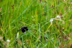 Libélula negra que se sienta en rotundus del Cyperus imagen de archivo libre de regalías