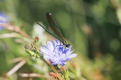 Libélula negra que se sienta en una flor azul de la achicoria Fotografía de archivo libre de regalías