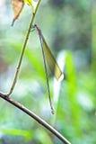 Libélula observada na floresta úmida atlântica Imagem de Stock Royalty Free