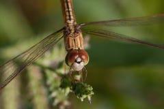 Libélula (Odonata) Imagem de Stock Royalty Free