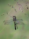 Libélula (Odonata) Imagen de archivo libre de regalías