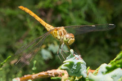 Libélula (Odonata) Fotografia de Stock