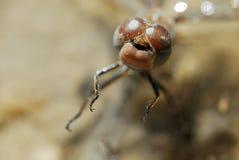 Libélula (Odonata) en un campo cerca de Corpa, Madrid, España fotos de archivo