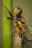 libélula Quatro-manchada do caçador Fotografia de Stock