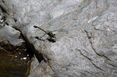 Libélula que miente en una roca Foto de archivo