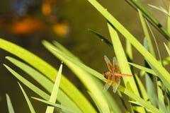 Libélula que pasa por alto a Coy Pond Fotografía de archivo