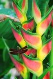Libélula que se reclina sobre una flor del heliconia Foto de archivo