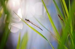 Libélula que se sienta en una cuchilla de la hierba Foto de archivo libre de regalías
