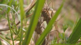 Libélula recién nacida Una libélula apenas ha emergido de su piel larval y está balanceando en el viento y para las alas que espe metrajes