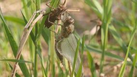 Libélula recién nacida Una libélula verde apenas ha emergido de su piel larval y está balanceando en el viento y está esperando almacen de metraje de vídeo