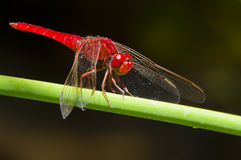 Libélula roja Imagen de archivo