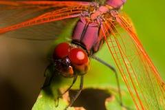 Libélula roja Foto de archivo