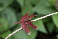 Libélula roja Foto de archivo libre de regalías