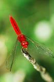 Libélula roja. Imágenes de archivo libres de regalías