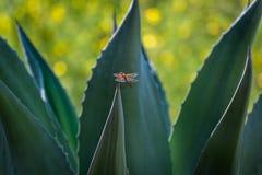 Libélula roja (desnatadora de la llama) en el cactus, California meridional Fotografía de archivo