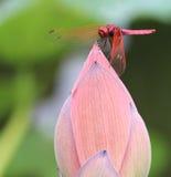 Libélula roja en el brote de Lotus Imágenes de archivo libres de regalías