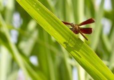 Libélula roja en hierba verde Imagen de archivo