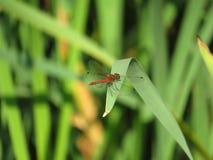 Libélula roja en la cuchilla de la hierba Fotos de archivo