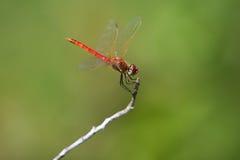 Libélula roja en una ramita foto de archivo