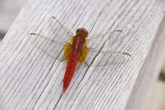 Libélula roja japonesa Imagen de archivo