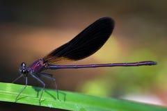 Libélula roxa Iridescent Fotografia de Stock