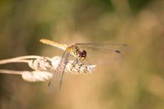 Libélula rubicunda del Darter Fotografía de archivo