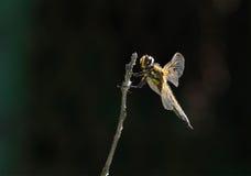 A libélula senta-se em um ramo, no perfil Fotos de Stock Royalty Free