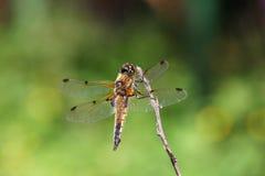 A libélula senta-se em um ramo, vista traseira Imagens de Stock